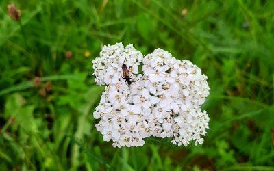 Gewöhnliche Wiesen-Schafgarbe (Achillea millefolium)